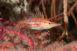 BD-160102-Kalanggaman-1917-Oxycirrhites-typus.-Bleeker.-1857-[Longnose-hawkfish].jpg